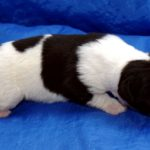 Родились щенки